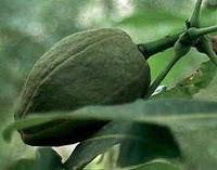 Pachira-la pianta del denaro.