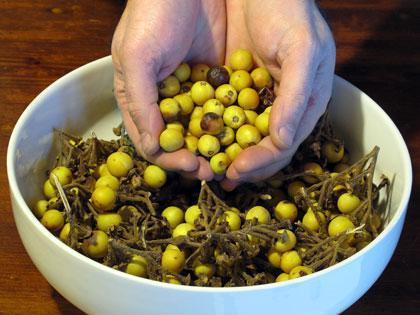 Alberi monumentali, albero delle melanzane e semi di solanum torvum