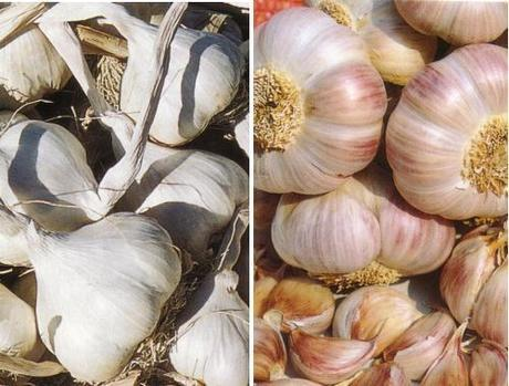 L'aglio nell'orto. dalla semina alla raccolta