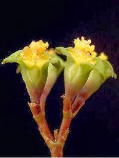 Wallpaper: Euphorbia Neobosseri