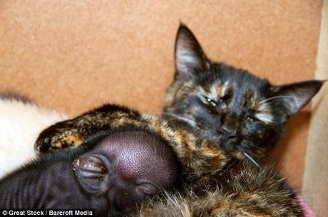 One of the family: Jinx allows her new 'kitten' to snuggle up