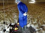 pollo difende dall'influenza