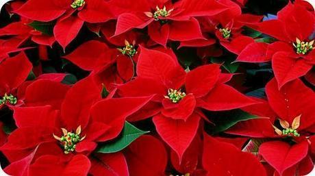Stella-di-Natale-come-curarla-e-farla-fiorire