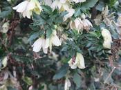 Clematide fiore pieno inverno