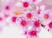 Sakura: fiore ciliegio