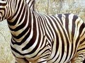 Zebra body painting
