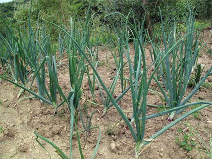 Cosa coltivare nell orto c come cipolla paperblog for Cosa piantare nell orto adesso