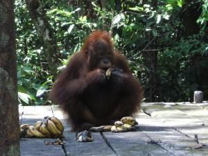 Cos'è una foresta senza orango?