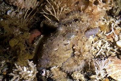 polpo calamaro mimetismo