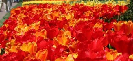 Tulips Ratbastrd Flickr