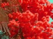 mimosa rossa sangue
