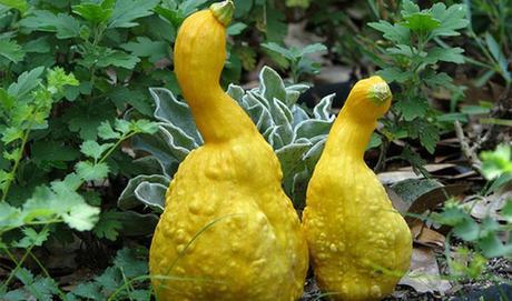 Scherzi della natura le 10 foto di frutti mutanti pi for Mapo frutto
