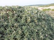Astragalus piante giardino litoraneo