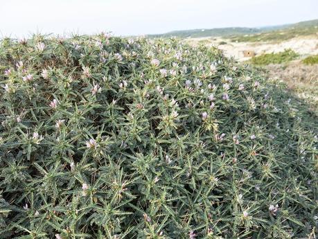 Astragalus piante per il giardino litoraneo paperblog - Piante per il giardino ...