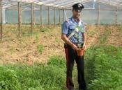 Scoperta serra coltivazione marijuana, arresti nello stabiese
