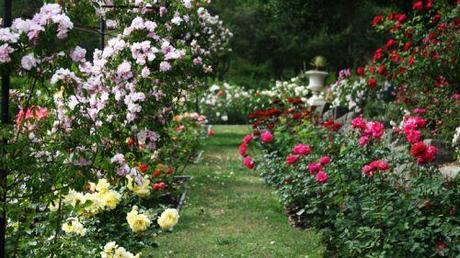 Non un giardino senza rose paperblog - Rose coltivazione in giardino ...