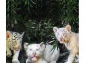 cuccioli bianchi Bengala nati nello Buenos Aires (foto)