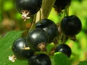 Ribes Nero, contro mali invernali allergie