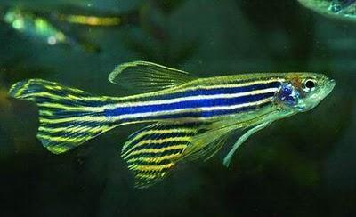 pesce zebra rigenerazione cuore