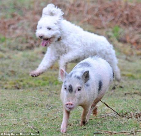 Pigs might fly: Owner Sue's ultimate ambition is for Louie to participate in Crufts one day