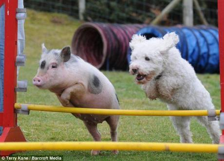 In synch: Louie the pig jumps a fence with a fellow display team member. He performs at agricultural shows around the country