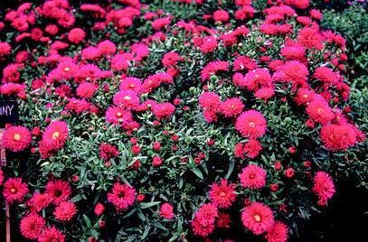 Piante perenni che fioriscono in autunno e inverno paperblog for Piante che fioriscono in inverno