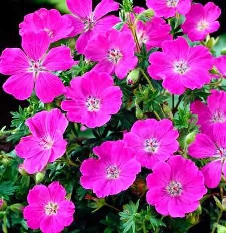 Piante perenni che fioriscono in estate a medio e grande for Piante tappezzanti perenni