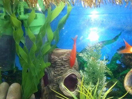 Come allestire un acquario per pesci rossi paperblog for Dove comprare pesci rossi
