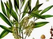 tree, olio essenziale Salute