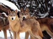 Basilicata, lupi attirano turisti