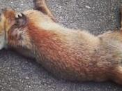 poison fox? Perché avvelenare volpe?