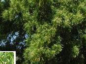 semi dell'albero Neem