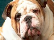 Gran Bretagna, lifting anche cani problemi salute. quattro anni aumentati interventi dell'80%