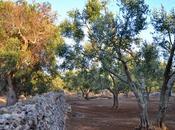 Seclì Giorgio Greco scrive Xylella fastidiosa: rimedio nella cura dell'ulivo
