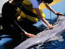 Taiji, caccia delfini ufficialmente aperta
