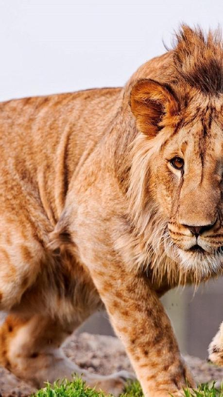 Sfondi iphone leoni