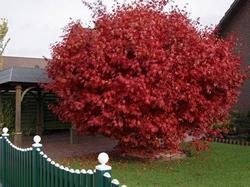 alberi giapponesi - paperblog - Alberi Sempreverdi Da Giardino A Crescita Rapida
