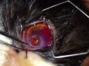 Ulcera corneale prolasso dell'iride gatto