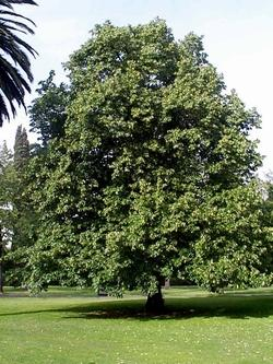 Alberi da ombra paperblog for Piante da giardino sempreverdi alto fusto