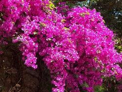 Rampicanti da esterno paperblog for Bouganville fioritura
