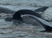 Vasto, sette capodogli spiaggiati Punta Penna