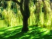 Salix vitellino Willow, fiore Bach vittima stesso