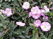 Convolvoli rose