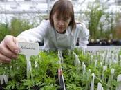 ARTEMISIA ANNUA Antica pianta cinese antitumorale