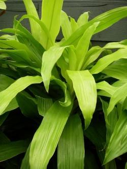 Dracena pianta paperblog for Piante secche ornamentali