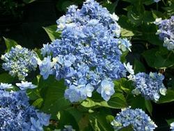 Hydrangea quercifolia paperblog for Ortensia quercifolia