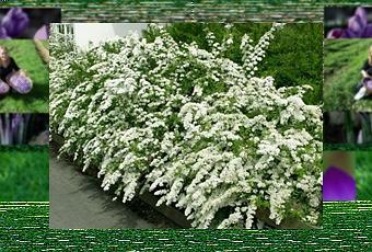 Siepe con fiori paperblog for Siepi sempreverdi fiorite