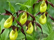 scarpetta Venere, fiore ricarica l'organismo solo