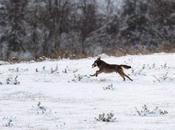 Fotogallery: lupi avvistati Gargano negli ultimi anni