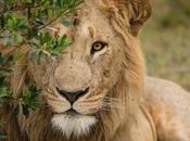 Reportage dall'Africa: leoni nessuno.